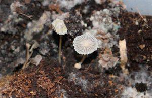 mushrooms decomposers parasola auricoma