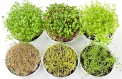 6 Of The Best Microgreens To Grow (Popular & Best Tasting)