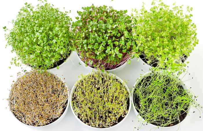 best microgreens