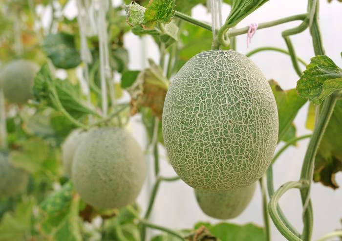 cantaloupe melon growing on vines
