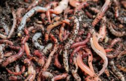 Compost Worms Vs Earthworms – Are They The Same?