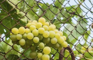 fruit that grows on vines