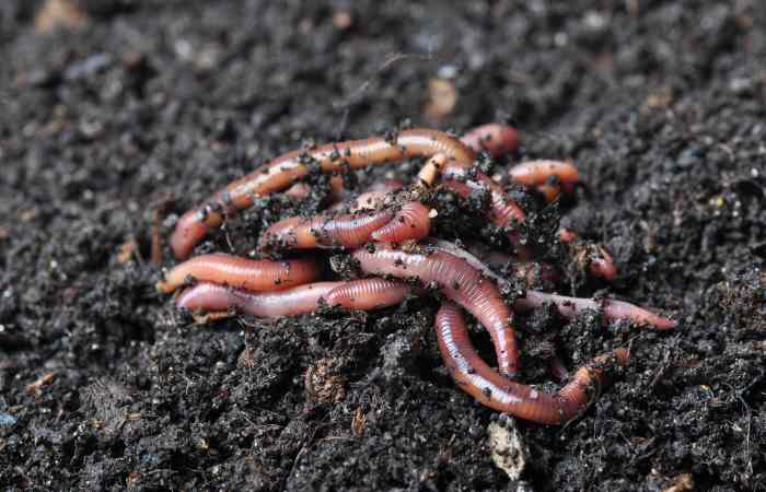 garden earthworms