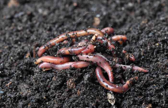 garden earthworms