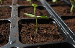 How Often To Water Seedlings & Bottom vs Top Watering