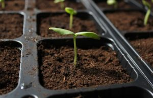 how often to water seedlings