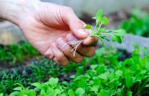 sprouts vs microgreens