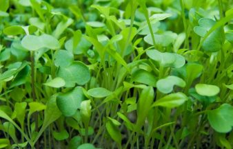 What Are Microgreens – Types, Benefits, FAQ