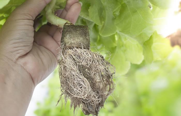 plant growing in rockwool