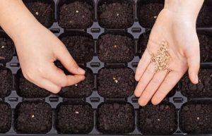 how many seeds to plant