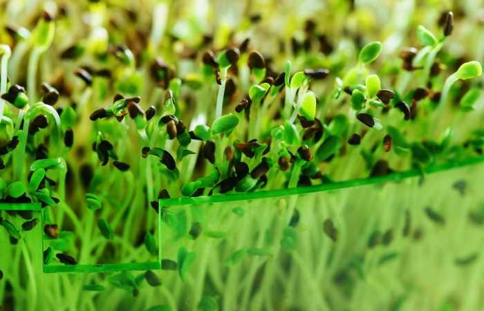 how to use microgreens