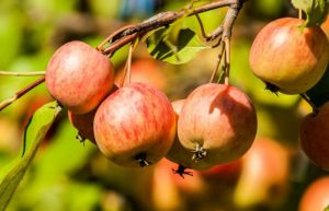 what crab apples look like