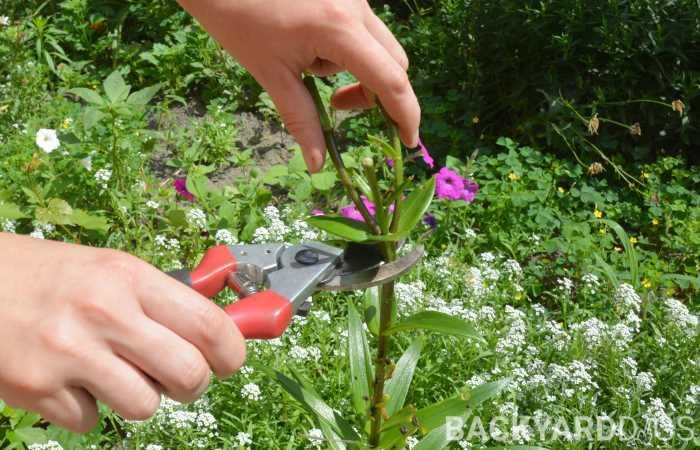 how to deadhead daylilies