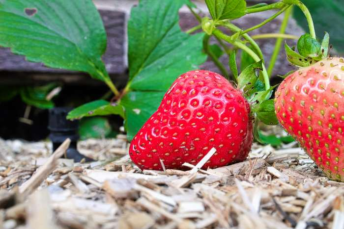 mulch preventing weeds for strawberries