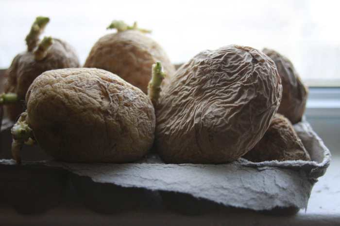 chitting potatoes in window