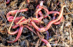 Do Worms Lay Eggs? How Are Worms Born?