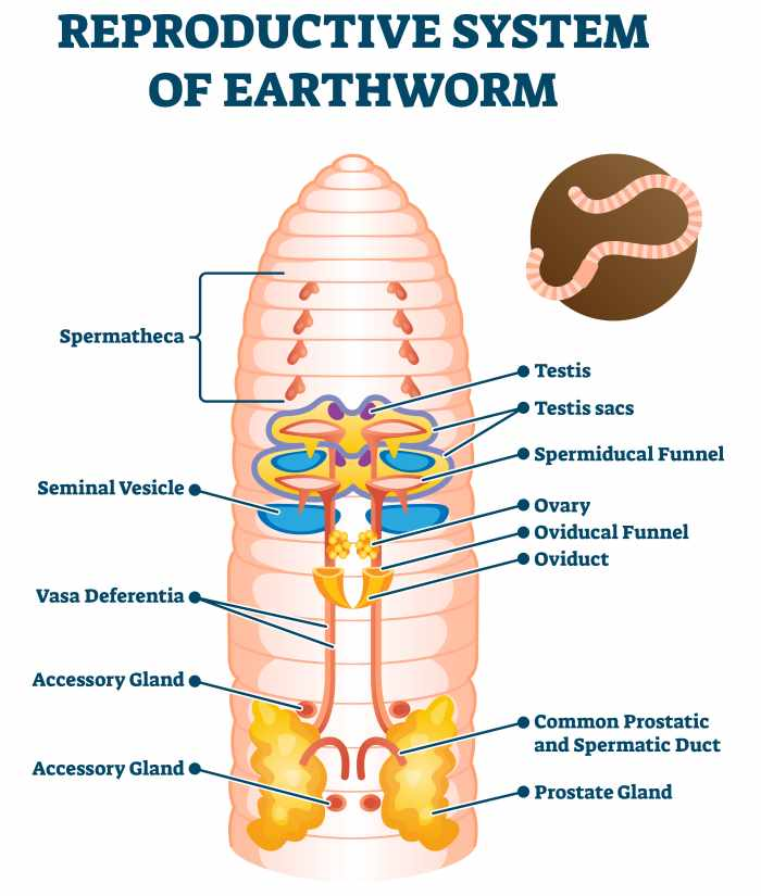 earthworm reproductive system
