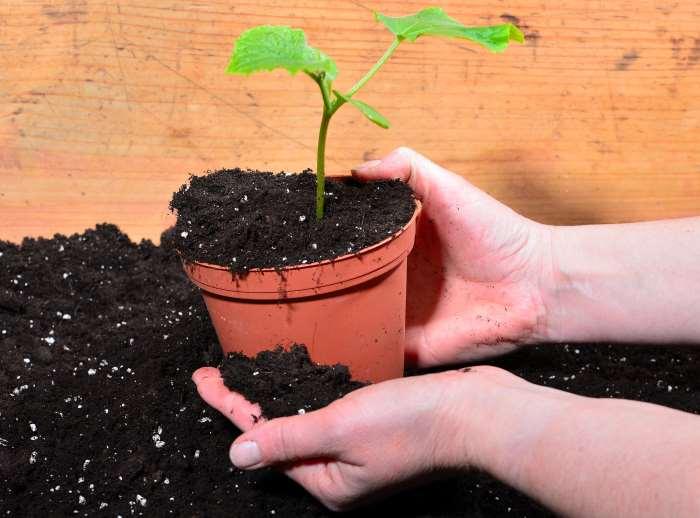gardener holding potting soil