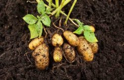 How Many Potatoes Grow Per Plant