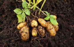 How Many Potatoes Grow Per Plant