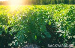 How Much Sun Do Potatoes Need?