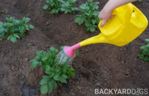how often to water potatoes