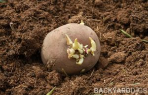how to sprout potatoes