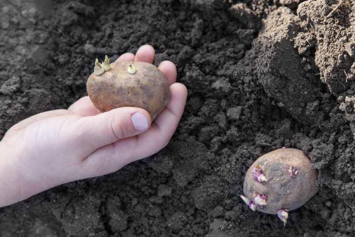 potato germination