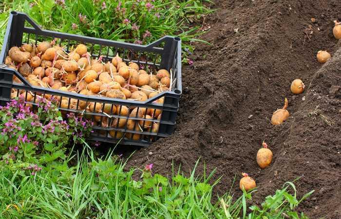 seed potatoes vs regular potatoes