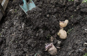 when to plant potatoes in zone 8