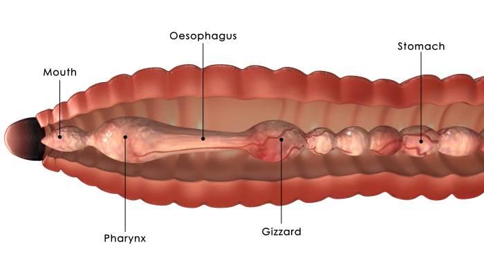 earthworm food processing anatomy