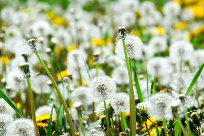 dandelions seeding