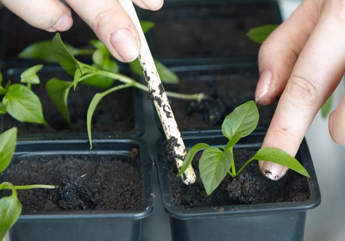 transplanting hydroponic plants to soil