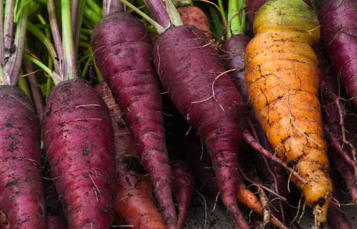 purple carrots with tops