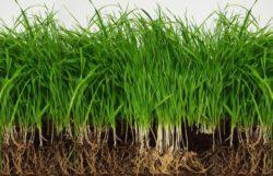 How Deep Do Grass Roots Grow?