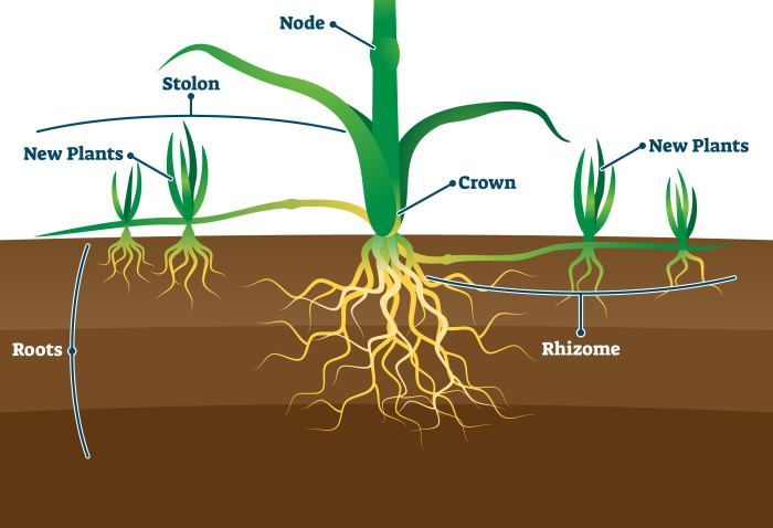 parts of grass roots